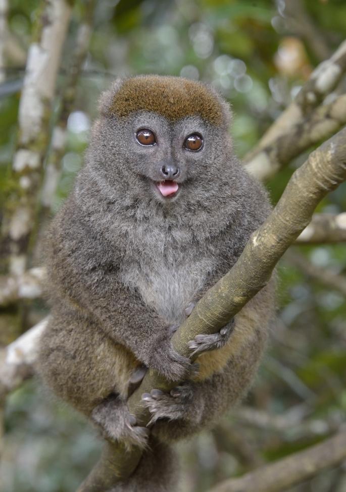 eastern bamboo lemur, eastern bamboo lemur photos, lemur, lemur photos, madagascar lemurs, madagascar lemur photos, africa wildife, africa wildlife photos, madagascar wildlife, madagascar wildlife photos