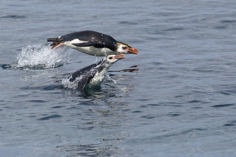 Royal penguin, penguin, penguins swimming, penguin images, penguin photos, australian penguins