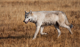 wolf, white wolf, yellowstone national park, yellowstone images, yellowstone wildlife, yellowstone wolves, wolf photos, wolves in the us, wild wolves, wild wolf photos
