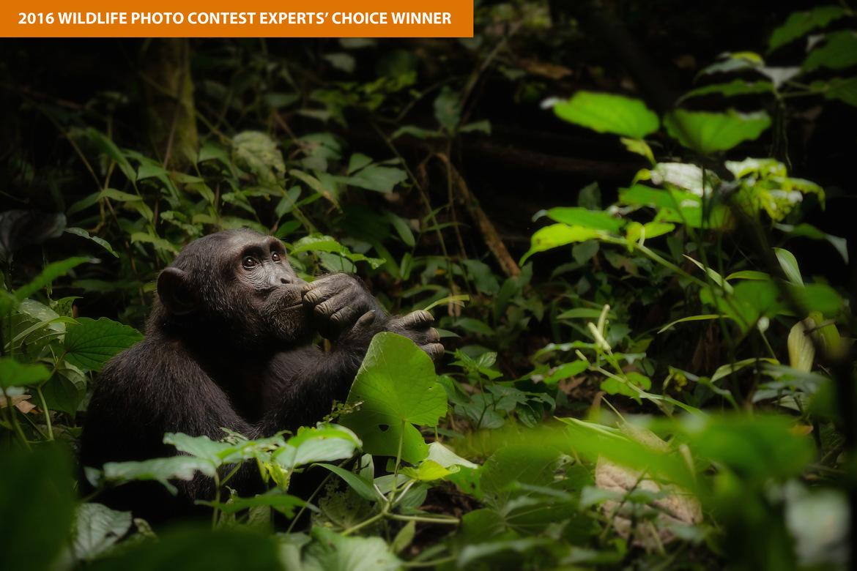 chimpanzee, chimpanzee photos, chimpanzee pictures, Uganda wildlife, primates in Uganda, Kigale National Forest, Kigale National Forest wildlife, apes in Kigale National Forest, African wildlife, chimpanzees in Africa, wild chimpanzees