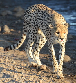 Cheetah, cheetah cub, cheetah cub photos, Tanzania, Tanzania wildlife, Tanzania safari images, cheetah images, cheetah photos, Tanzania images, Tanzania photos, Serengeti, Serengeti wildlife