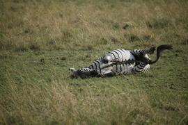 Zebra, Africa, Kenya, Kenya wildlife, zebras in Kenya, photos of zebras, zebra images, African safari, African safari images, Maasai Mara