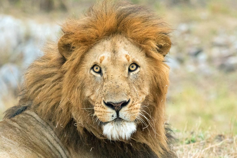 lion, lion photos, lion cub, male lion, tanzania wildlife, tanzania wildlife photos, africa wildlife, africa wildlife photos, lions in tanzania, photos of lions in tanzania, tanzania safari, tanzania safari photos, Serengeti National Park, Serengeti photo