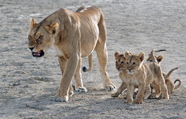 lion, lion photos, lion cub, lion cub photos, tanzania wildlife, tanzania wildlife photos, africa wildlife, africa wildlife photos, lions in tanzania, photos of lions in tanzania, tanzania safari, tanzania safari photos, Serengeti National Park, lioness