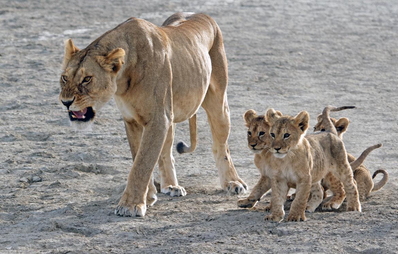 lion, lion photos, lion cub, lion cub photos, tanzania wildlife, tanzania wildlife photos, africa wildlife, africa wildlife photos, lions in tanzania, photos of lions in tanzania, tanzania safari, tanzania safari photos, Serengeti National Park, lioness