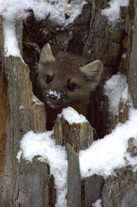 pine marten, yellowstone national park, pine marten photos, pine marten images, yellowstone wildlife, yellowstone wildlife images, yellowstone national park wildlife, US wildlife
