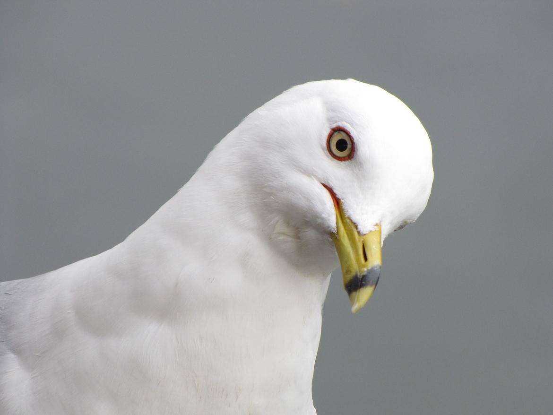 Ring billed gull, birds in the US, ring billed gull images, ring billed gull photos, gulls, gull photos, Long Island wildlife, Long Island birds