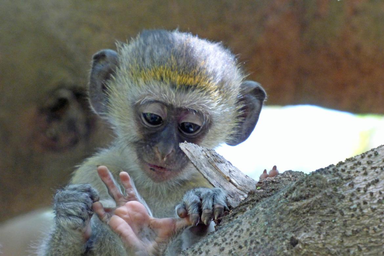 Black-faced vervet monkey, vervet monkey, Black-faced vervet monkey images, Black-faced vervet monkey photos, vervet monkey photos, vervet monkey images, Arusha, Arusha wildlife, Africa wildlife, Arusha photos, Arusha wildlife photos, Tanzania wildlife