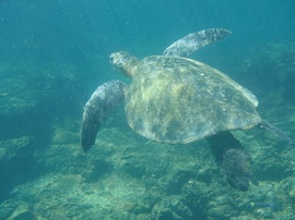 sea turtle, sea turtle photos, sea turtle images, galapagos islands wildlife, galapagos wildlife, galapagos marine life, galapagos marine like photos, galapagos wildlife photos, galapagos island wildlife photos