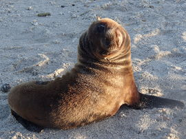 fur seal, fur seal photos, baby seal, baby fur seal, galapagos islands, galapagos islands wildlife, seals in the galapagos, galapagos photos, beach photos