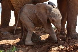 elephant, african elephant, elephant photos, african elephant photos, kenya wildlife, kenya wildlife photos, africa wildlife photos, africa wildlife, african safari photos, samburu wildlife, samburu wildlife photos