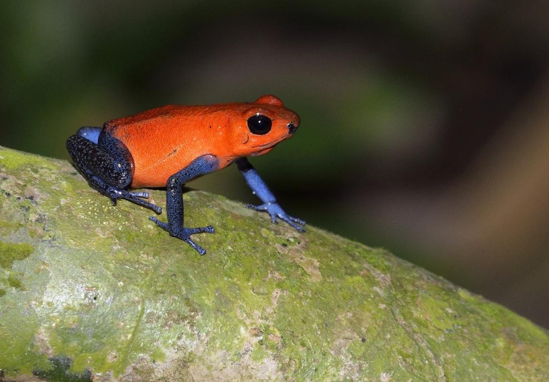 strawberry poison dart frog, strawberry poison dart frog photos, costa rica photos, costa rica wildlife photos, poison dart frogs in costa rica, frogs in costa rica, photos of poison dart frogs in costa rica
