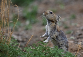 Pika, pika images, pika photos, Mongolia, Mongolia images, Mongolia photos, Mongolia wildlife, Mongolia wildlife images