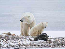 Polar bear, Churchill, Canada, Canada wildlife, polar bear images, polar bear pictures, Churchill images