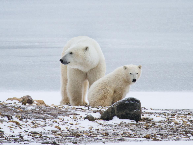 Polar bear, Churchill, Canada, Canada wildlife, polar bear images, polar bear pictures, Churchill images
