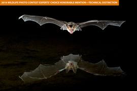 bat, bat photos, bats in Arizona, pallid bat, pallid bat photos, reflection photos, wildlife in Arizona, Arizona wildlife photos