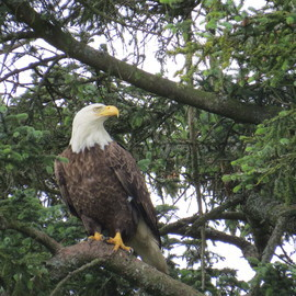 bald eagle, Alaska, Alaska wildlife, Katmai, Kodiak, bald eagle photos, bald eagle images, Alaska wildlife images