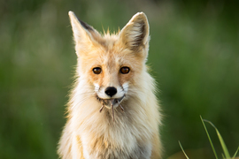 red fox, red fox photos, red fox images, wildlife in Canada, Canada wildlife, Canada wildlife photos, Saskatchewan wildlife photos, wildlife in Saskatchewan, foxes in Saskatchewan