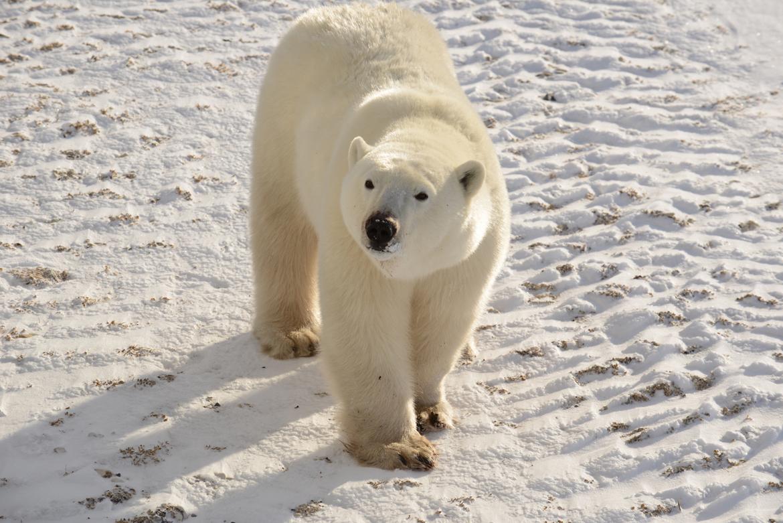 Polar bear, Wapusk National Park, Canada, Canada wildlife, polar bear images, polar bear pictures, Wapusk National Park images, Wapusk National Park wildlife images