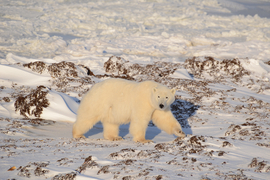 polar bear, polar bear in churchill, wapusk national park, polar bear in canada, canada wildlife, canada polar bears, canada wildlife images, polar bear images, canada wildlife photos, polar bear photos, churchill wildlife, churchill wildlife photos