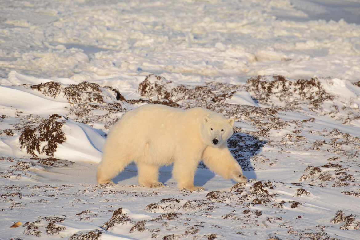 polar bear, polar bear in churchill, wapusk national park, polar bear in canada, canada wildlife, canada polar bears, canada wildlife images, polar bear images, canada wildlife photos, polar bear photos, churchill wildlife, churchill wildlife photos