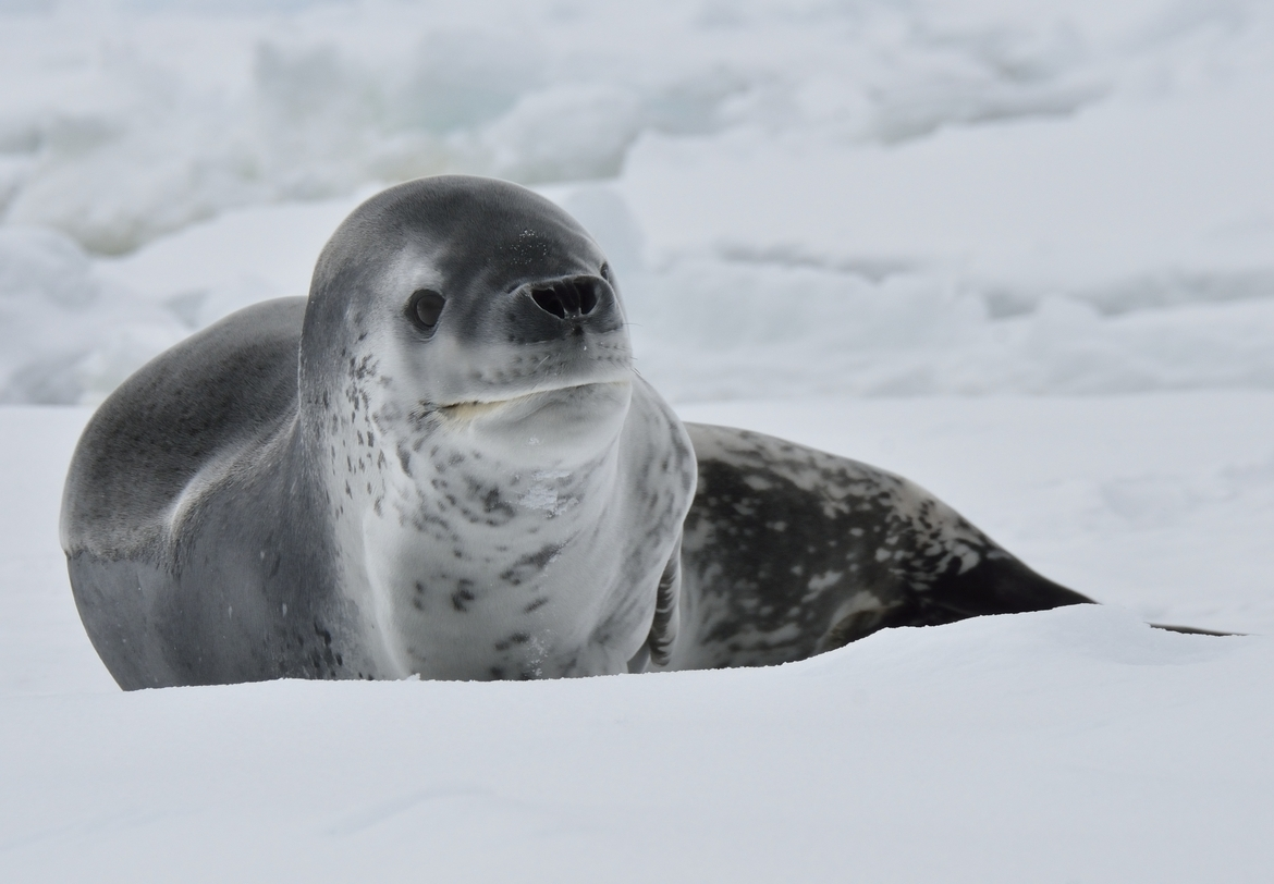 leopard seal, leopard seal photos, leopard seal images, antarctica wildlife, antarctica wildlife photos, Ross Sea, ross sea wildlife