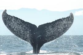 Grid mexico humpback astrid dsc 0115