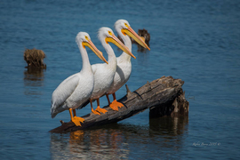 Pelicans, Pelican, Arkansas, photos of Pelicans, Pelican Images, Birding