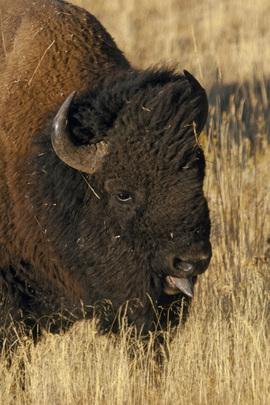 Grid bison