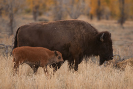 Grid bison calf