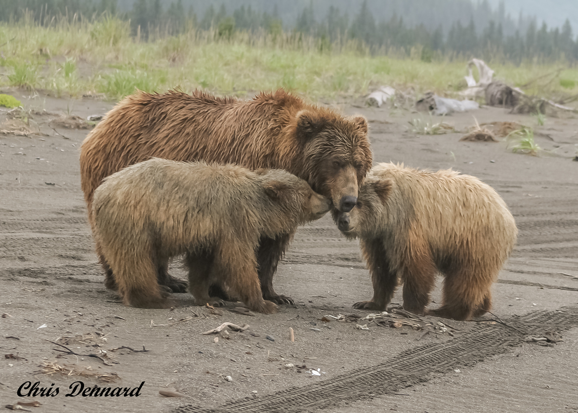 brown bear, grizzly bear, brown bear photos, grizzly bear images, grizzly cub, brown bear cub, grizzly fishing, united states wildlife photos, Alaska wildlife, Alaska bears, Alaska photos