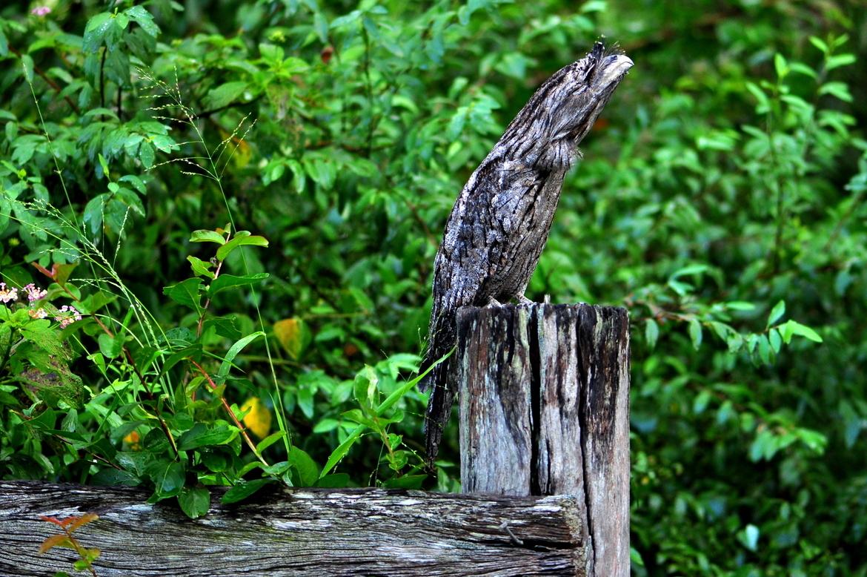tawny frogmouth, tawny frogmouth photos, birds of australia, australia wildlife, Brisbane wildlife