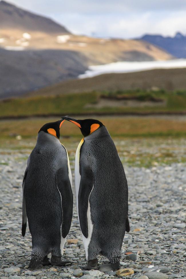 penguins, king penguin, king penguin photos, penguin photos, penguin images, antarctica wildlife, penguins in antarctica, south georgia wildlife, south georgia penguins