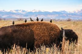 bison, bison photos, bison images, buffalo, buffalo photos, buffalo images, american bison, rocky mountain arsenal, rocky mountain arsenal wildlife, rockies wildlife, european starling, european starling photos