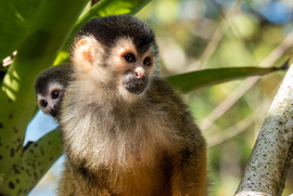 squirrel monkey, squirrel monkey photos, Costa Rica photo, Costa Rica wildlife, Costa Rica monkeys, Tiskita Lodge