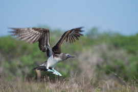 blue footed booby, blue footed booby photos, Galapagos wildlife, Galapagos wildlife photos, birds of the Galapagos, Espanola island, Espanola island wildlife