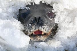 Weddell seal, weddell seal photos, seal photos, antarctica seals, antarctica seal photos, Erebus Bay, Erebus Bay wildlife