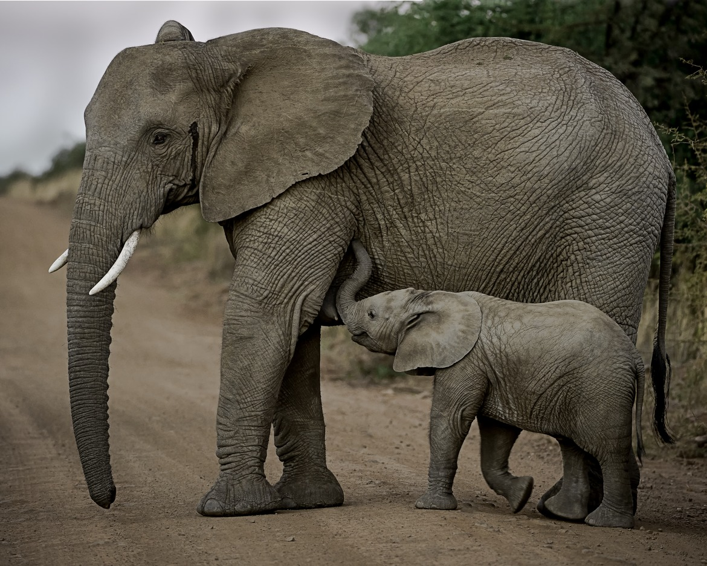 elephant, elephant photos, african elephant, african elephant photos, baby elephant, elephant calf, mother elephant, South African wildlife, elephants in South Africa, Plainsburg