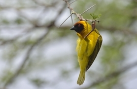 Vitelline Masked Weaver, Vitelline Masked Weaver images, Vitelline Masked Weaver photos, tanzania wildlife, tanzania wildlife images, tanzania wildlife photos, tanzania safari, tanzania safari photos, africa wildlife, africa safari, tanzania birds