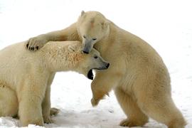 polar bear, polar bear in churchill, polar bear in canada, canada wildlife, canada polar bears, canada wildlife images, polar bear images, canada wildlife photos, polar bear photos, churchill wildlife, churchill wildlife photos, polar bears sparring