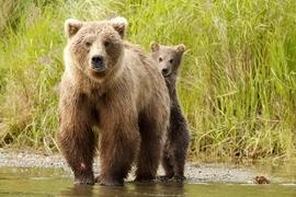brown bear, grizzly bear, brown bear photos, grizzly bear images, grizzly cub, brown bear cub, grizzly fishing, Katmai National Park, Katmai National Park wildlife, united states wildlife photos, Alaska wildlife, Alaska bears, Alaska photos, Brooks River