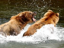 brown bear, grizzly bear, brown bear photos, grizzly bear images, Katmai National Park, Katmai National Park wildlife, united states wildlife photos, Alaska wildlife, Alaska bears, Alaska photos, Brooks River, Brooks River photos