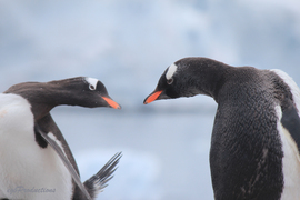 penguins, gentoo penguin, gentoo penguin photos, penguin photos, penguin images, antarctica wildlife, penguins in antarctica
