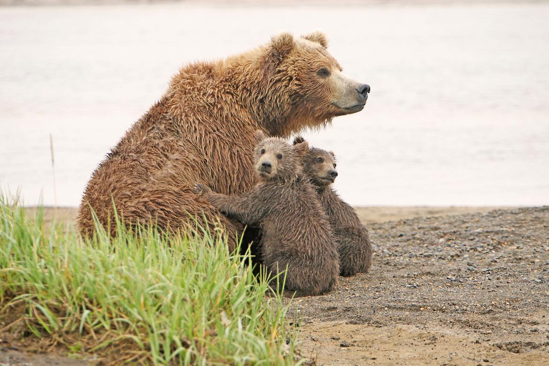 grizzly bear, brown bear, brown bear cubs, grizzly cubs, grizzly photos, brown bear photos, alaska wildlife, alaska bears, alaska wildlife photos, alaska bear photos, bears nursing, Hallo Bay, Hallo Bay wildlife