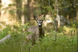 roebuck, roebuck photos, Croatia wildlife, Northern Velebit National Park, Northern Velebit National Park wildlife, deer in Europe, European wildlife
