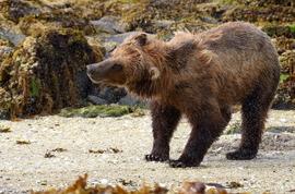 grizzly bear, brown bear, brown bear cub, grizzly cub, grizzly photos, brown bear photos, alaska wildlife, alaska bears, alaska wildlife photos, alaska bear photos, united states wildlife, united states wildlife photos, kenai, geographic bay