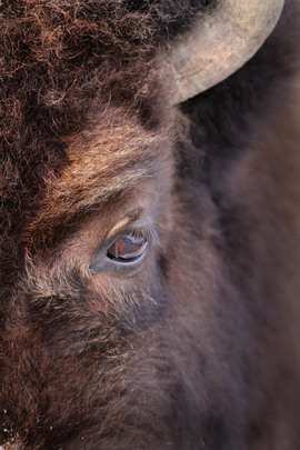 bison, bison photos, bison images, buffalo, buffalo photos, buffalo images, yellowstone wildlife, yellowstone wildlife images, united states wildlife
