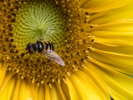 hover fly, hover fly photos, sunflower, sunflower photos, Virginia wildlife, Virginia insects, Virginia flowers