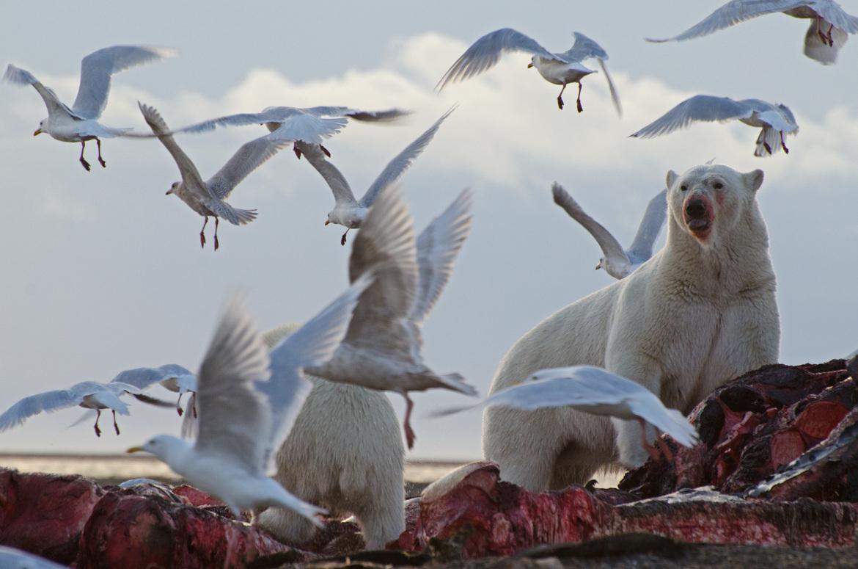 polar bear, polar bear cub, polar bear photos, polar bear pictures, bear cub, polar bear eating, polar bears in Alaska, Alaska wildlife, Kaktovik, Arctic wildlife
