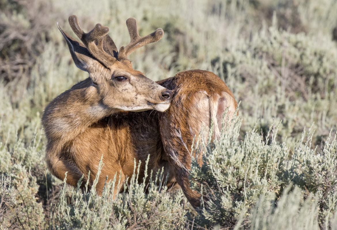 deer, deer photos, deer images, buck, buck photos, buck images, united states wildlife, young deer, young buck, Grand Teton National Park, Grand Teton wildlife, national park wildlife